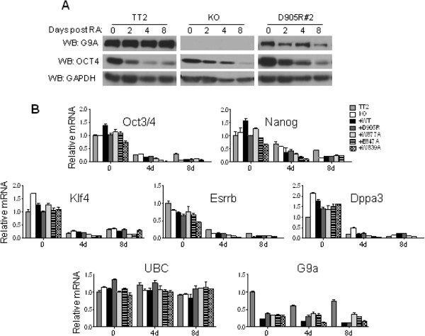 G9a is not required for the transcriptional repression of selected early embryonic genes during retinoic acid (RA)-induced differentiation. The indicated mESC lines were untreated (0) or treated with 1 μM RA for 2, 4 or 8 days. (A) Immunoblots were used to determine G9a, Oct3/4 and GAPDH (loading control) protein levels in whole cell extracts. (B) Graph shows the messenger (mRNA) levels for the indicated genes using RT-qPCR analysis with Ubiquitin C (UBC) as the normalization control. All mRNA levels are normalized to the TT2 0 RA sample. Results shown are mean ± SD for three PCR reactions performed on the same cDNA sample and are representative of three independent experiments.
