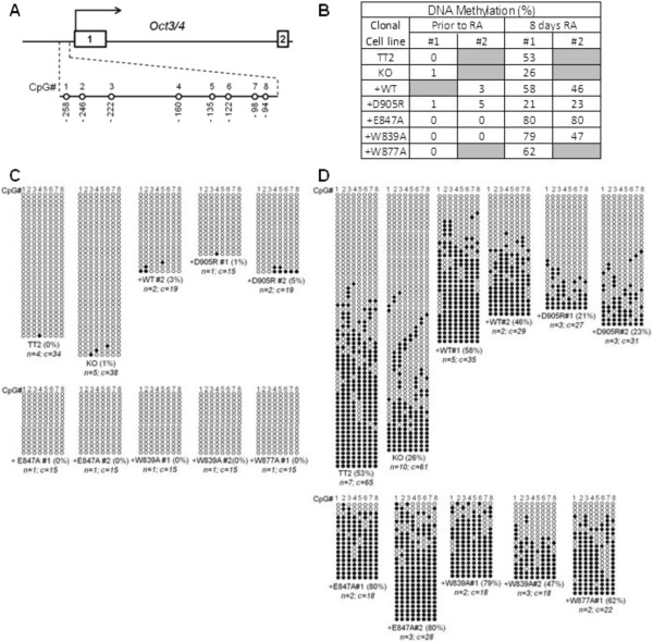 The G9a non-cage histone H3 binding surface of the ankyrin repeat (ANK) domain is required for de novo DNA methylation of the Oct3/4 gene promoter during retinoic acid (RA)-induced embryonic stem cell (ESC) differentiation. DNA extracted from the indicated mouse embryonic stem cell (mESC) lines, grown under self-renewal conditions or treated with RA for 8 days to induce differentiation, was treated with sodium bisulfite, amplified using specific Oct3/4 promoter primers, cloned and subjected to sequence analysis. (A) Schematic diagram of CpG positions within the Oct3/4 gene promoter is shown. The methylation status of eight CpG sites (no. 1 to 8) within the promoter (-90 to -258 relative to the transcription start site) was examined. (B) Percentage of DNA methylation for the Oct3/4 promoter region encompassing eight CpG sites of each clonal cell line is indicated in the table, which summarizes data shown in (C) and (D) . DNA extracted from the indicated mESC lines that were untreated (C) or treated with RA for 8 days (D) was treated with sodium bisulfite, amplified using specific Oct3/4 promoter primers, cloned and subjected to sequence analysis. Each horizontal row represents results from sequencing a separate DNA clone. The overall percentage of methylated CpG sites is indicated in parentheses beside the clone designation. The number of independent biological replicate experiments ( n ) from which the total number of DNA clones ( c ) were derived is also indicated.