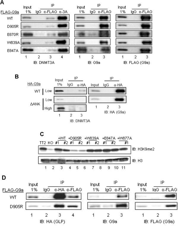 Mutations in the histone H3 binding surface of the G9a ankyrin repeat (ANK) domain do not abrogate binding to DNMT3A. COS- 7 cells were transiently transfected with pcDNA3.1-mDNMT3A (A and B) or pSG5-HA-mGLP full-length (D) and pSG5-FLAG-mG9a full-length (A, B and D) or pSG5-HA-mG9a.ΔANK (B) . G9a was either wild-type (WT) or contained the indicated point mutations in the ANK domain. G9a, GLP and DNMT3A were immunoprecipitated from cell extracts with an anti-FLAG/anti-HA, anti-HA or anti-DNMT3A antibody, respectively. Non-immune IgG antibody was used for immunoprecipitation background estimation. Bound proteins were analyzed by immunoblot ( IB ) with the indicated antibodies. A 1% input sample was loaded for comparison. High (3 minutes) and low (1 minute) exposure times are shown (B) . (C) Immunoblots were used to determine H3K9me2 and H3 protein levels in acid histone extracts from the indicated undifferentiated mESC lines.