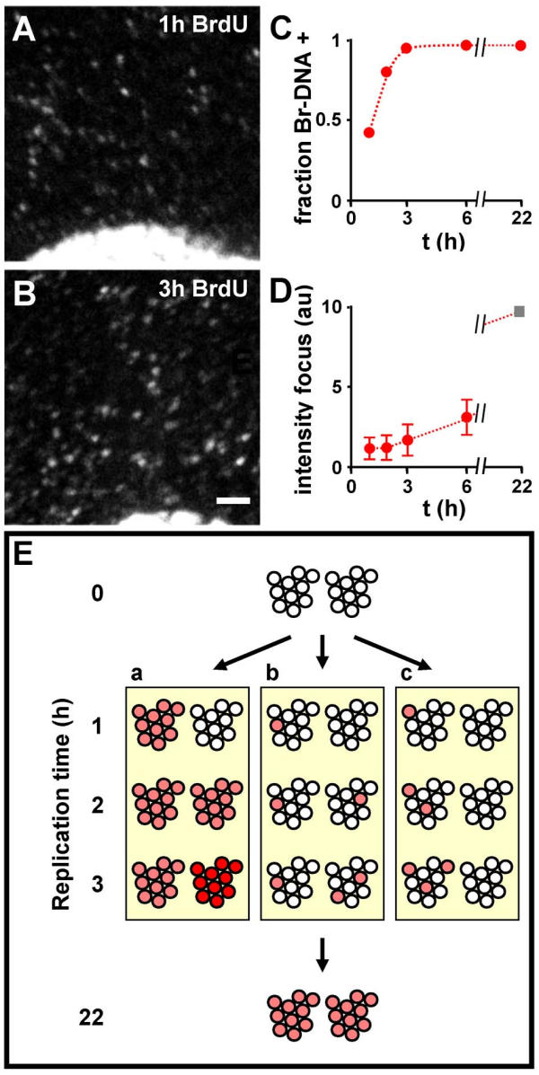 Mitochondrial replication. Cells with YFP-tagged mitochondria were grown in <t>BrdU</t> for 1–6 h, fixed, and Br-DNA <t>immunolabelled.</t> (A,B) On growth in BrdU, progressively more mitochondrial foci containing Br-DNA are seen. Bar: 2 μm. (C) Changes in the fraction of DNA foci containing Br-DNA (assuming cells contain 468 foci/cell; Table 1 , line 3); essentially all foci contain Br-DNA within 3 h. (D) Integrated intensity of Br-DNA labelling per focus (in arbitrary units, with the value at 1 h set to unity). The average intensity per focus is constant between 1 and 2 h, and then rises; extrapolating the line from 2–6 h to 22 h (the length of the cell cycle) gives an intensity of 10 (square). (E) Three models for replication. Two DNA foci, each initially containing 10 unreplicated genomes (open circles), are shown. (a) Here, a focus is a unit of replication. In the first hour, all genomes in one focus replicate together (red circles) and half the foci become labelled (as in Figure 6C ); in the second hour, all genomes in a second focus replicate together so that all genomes are now labelled (again as in Figure 6C ). However, during the third hour, the intensity of foci continues to increase (Figure 6D ), so we would have to assume that genomes re-replicate (dark red circles) and some would presumably have to be degraded to maintain genome numbers. (b) All genomes replicate independently of all others. The kinetics in (D) and (E) are consistent with this model. (c) Here, a polymerizing complex transfers from genome to genome in one focus before going to another focus; then genomes in one focus would replicate successively, before replication switched to another focus. This would give the progressive increase seen in Figure 6D , but many foci would remain unlabelled after 2 h (which is inconsistent with Figure 6E ).