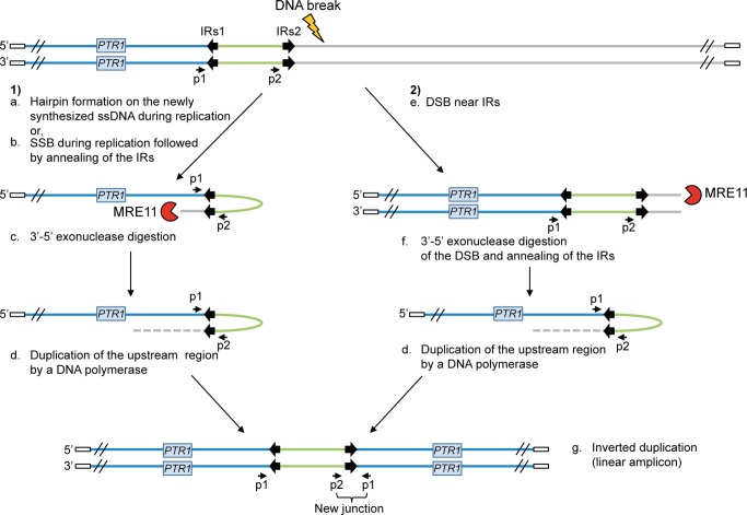 Potential mechanisms for the formation of extrachromosomal linear amplicons. ( 1 ) Single-strand hairpin formation (a) or single-strand break (SSB) (near the IRs) during replication followed by annealing of the IRs (b), 3′-5′ exonuclease digestion of the exposed end (c) and DNA synthesis of the upstream region (d) and of the second strand to form an inverted duplication (g). ( 2 ) Double-strand break (DSB) near the IRs (e) followed by 3′-5′ exonuclease digestion at the DNA break of one strand (f), annealing of the IRs to form an inverted duplication (d) and synthesis of the second strand to generate linear amplicon (g). The new junction formed during annealing of the IRs can be detected by PCR using specific primers. IRs, inverted repeated sequences; ss, single-strand; SSB, single-strand break; DSB, double-strand break; p1–p2, primer pair used to detect the new junction. White rectangle: telomeric sequences.