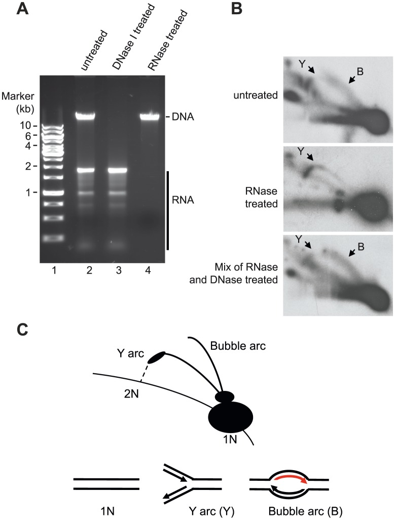Neutral 2D-AGE analysis of mtDNA replication products. ( A ) Extracted DNA analyzed on 1% Agarose. ( B ) Purified DNA cut with HincII was analysed using 2D-AGE. A fragment (mtDNA 13636-1006 bp) spanning the OriH region was visualized with probe located in CYTB (14641-15590 bp). Upper panel; untreated DNA (containing both RNA and DNA), Middle panel; RNase A and RNase H treated DNA (containing only DNA); Lower panel, DNA treated with RNaseA and RNaseH remixed with the RNA still present after DNase I treatment. ( C ) Schematic illustration of how Y and bubble arcs are expected to run in 2D-AGE. The bubble arc observed here is dependent on RNA (indicated in red).