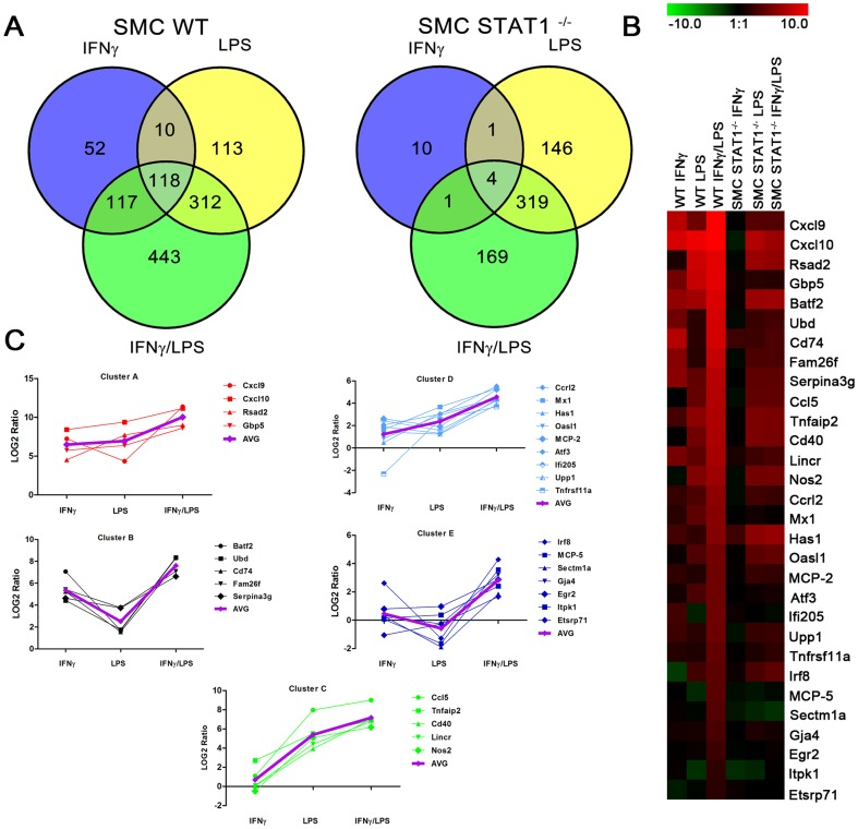 Identification of genes prone to synergistic amplification upon treatment with IFNγ and LPS. WT and STAT1 −/− VSMCs were treated as described in Fig. 1 . On RNA isolated from untreated or IFNγ, LPS or IFNγ+LPS treated VSMCs genome-wide expression profiling was performed. A, Venn diagrams revealing number of differentially expressed genes upon stimulation. B, Heat map of the expression of synergistically amplified genes in WT and STAT1 −/− VSMCs . C, Clustering of the synergistically upregulated genes according to their expression profile. AVG, average expression in the group. For details see text.