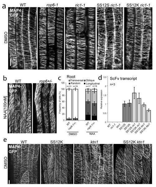 """Auxin-ABP1 controls MT arrangement through the downstream ROP6-RIC1-KTN1 signaling (a) MAP4-GFP visualization of MTs orientation in the root of WT, rop6-1, ric1-1 , SS12S ric1-1 , SS12K ric1-1 following DMSO application for 60 min. Corresponding to quantifications in Fig. 4a . (b-c) MTs reorientation patterns were visualized by MAP4-GFP in the roots of WT and rop6-1 +/− following DMSO or 100nM NAA application for 60 min (Student's T-test, p > 0.05). (d) The transcript level of the scFv12 coding the recombinant antibody responsible for ABP1 knockdown in WT, ric1-1, ktn1 , SS12S, SS12K, SS12S ric1-1 , SS12K ric1-1 , SS12S ktn1 and SS12K ktn1 after 48h ethanol induction. The transcript level of the scFv12 in SS12S was standardized as """"1"""" (Student's T-test, p > 0.05). (e) MTs orientation by MAP4-GFP in dark grown hypocotyls of WT, SS12K , ktn1 , SS12K ktn1 (with 24h ethanol induction) following DMSO application for 60 min. Corresponding to Fig. 4b . In all panels, error bars are s.e.m. Scale bars: 5μm (a-b) and 10μm (d)."""