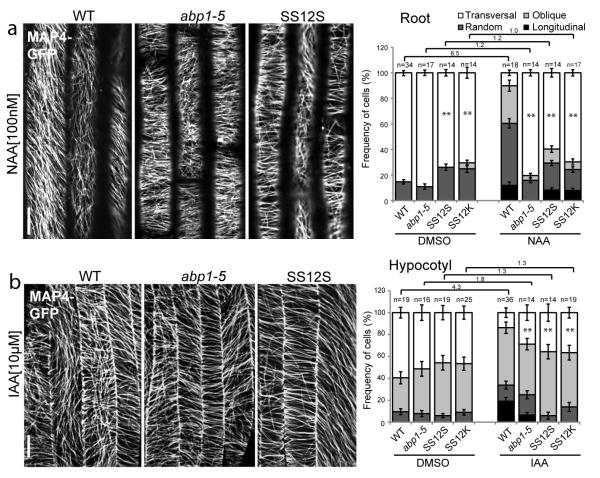 ABP1 is required for auxin regulation of MT reorientation (a-b) MAP4-GFP visualization of MTs reorientation in WT, abp1-5 , SS12S/K root (a) and hypocotyl (b) induced with ethanol vapors for 48h (a) and 8h (b) and following 60 min treatment with DMSO, 100 nM NAA (a) or 10 μM IAA (b). The ratio of transversal MTs in DMSO-versus NAA-treated is indicated above the charts (a, b). In all panels, error bars are s.e.m. and student's T-test was calculated for transversal MTs (** p