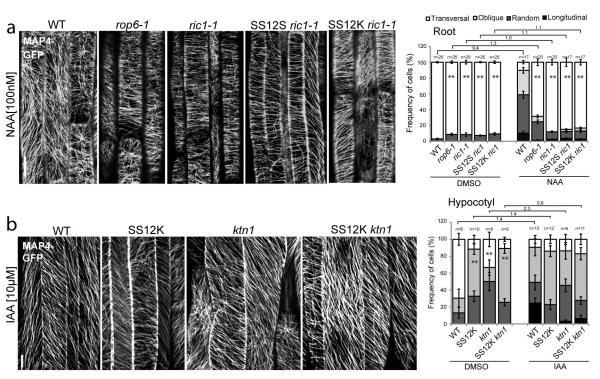 Auxin-ABP1 control MT arrangement through downstream ROP6-RIC1 and involvement of KTN1 (a) MTs orientation and quantification in roots of WT, rop6-1, ric1-1 , SS12S/K ric1-1 following 60 min of DMSO or 100 nM NAA application. (b) MTs orientation and quantification in 24h ethanol induced hypocotyls of WT, SS12K, ktn1 and SS12K ktn1 following 60 min of DMSO or 10 μM IAA application. The ratio of transversal MTs in DMSO-versus NAA/IAA-treated is indicated above the charts (a, b). In all panels, error bars are s.e.m. and student's T-test was calculated for transversal MTs (** p