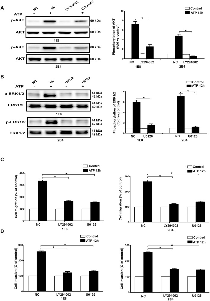 Effects of PI3K/AKT and ERK1/2 signaling pathways on ATP-mediated migration and invasion. IE8 and 2B4 cells were treated with LY294002 (lanes denoted as LY294002) or U0126 (lanes denoted as U0126) or without treatment (served as a negative control, lanes denoted as NC). ( A–B ) LY294002 and U0126 inhibited ATP-mediated PI3K/AKT and ERK1/2 activation respectively. ( C–D ) Effects of LY294002 and U0126 on migration and invasion in 1E8 and 2B4 prostate cancer cells. Data of cell migration or invasion were calculated as a percentage of control cells. Results were demonstrated by histograms, and values were presented as mean ± s.d. (vertical bars). At least three independent experiments were performed. *P