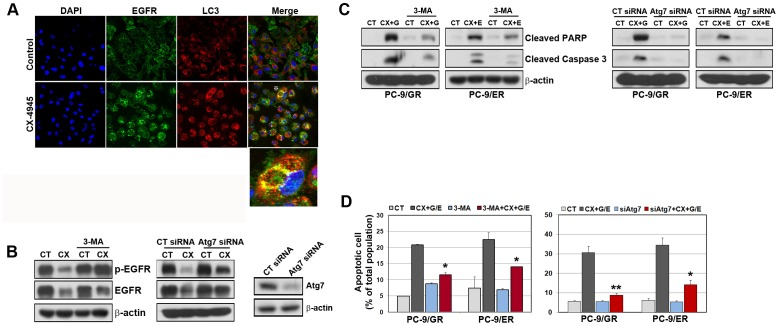The inhibition of CX-4945-induced autophagy led to decreased apoptosis. A, PC-9/ER cells were treated with CX-4945 (5 µM) for 48 h and then were fixed with methanol, immunostained with anti-LC3 (red), anti-EGFR (green), and DAPI (blue), and analyzed by confocal microscopy to determine the intracellular localization of EGFR. B, The suppression of Atg7 by siRNA treatment was detected by Western blot analysis. PC-9/ER cells were treated with CX-4945 (5 µM) for 48 h in the presence or absence of 3MA (2 mM) and Atg7 siRNA (100 nM). The modulation of EGFR was detected by Western blot analysis. C and D, Cells were treated with drugs as in Fig. 2 under the presence or absence of 3MA and Atg7 siRNA. Cleavage of PARP-1 and caspase-3 was shown by Western blot analysis. Apoptosis was assessed by Annexin V-FITC/Propidium iodide staining and flow cytometry. The results are representative of at least 3 independent experiments, and the error bars signify standard deviations (±SDs). *p