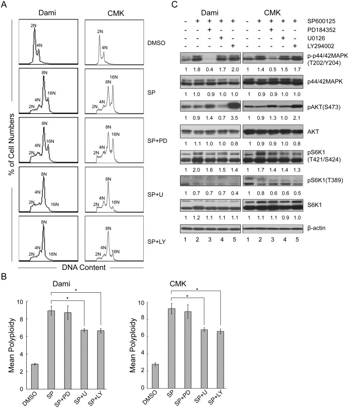 Partial inhibition of phosphorylation of S6K1 at Thr421/Ser424 is not sufficient to block polyploidization. Dami and CMK cells were incubated with SP600125 at 32 µM for 72 hours after pretreatment with or without PD184352 (2 µM), U0126 (10 µM), or LY294002 (30 µM) for 1 hour. Dami and CMK cells treated with DMSO were used as the control. After incubation, the cells were fixed, stained with PI and analyzed with a flow cytometer for DNA ploidy. (A) A typical representative DNA histogram. (B) The data are presented as the mean±SEM level of polyploidy and were obtained from 4 separate experiments; *p