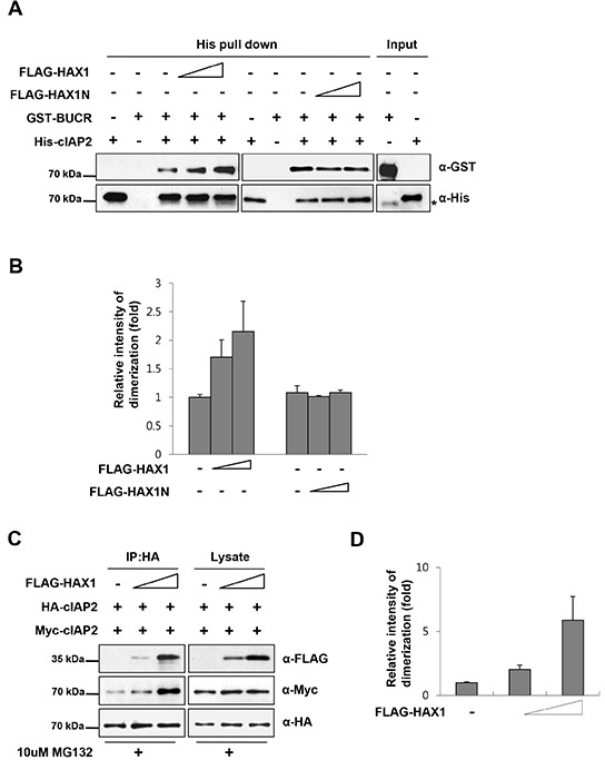 HAX1 facilitates the dimerization of the cIAP2 RING domain (A) Mixtures containing purified His-cIAP2 and GST-BUCR proteins were incubated with increasing amounts of HAX1 or HAX1N proteins and then examined by the His-pull down assay. Briefly, proteins were immunoprecipitated with Ni-NTA agarose resin and the resulting complexes were analyzed by immunoblotting with anti-His and anti-GST antibodies. (B) Quantitation of the results from (A). Data are presented as mean ± SEM (error bars) of three independent experiments. (C) HA-cIAP2 and Myc-cIAP2 proteins were expressed with increasing amounts of FLAG-HAX1 in HEK 293T cells. After 24 h, the cells were treated with or without a proteasome inhibitor, MG132 (10 μM), for an additional 7 h and cell lysates were immunoprecipitated with anti-HA agarose. The resulting complexes were analyzed by immunoblotting using appropriate antibodies. (D) Quantitation of the results from (C). Data are presented as mean ± SEM (error bars) of three independent experiments.