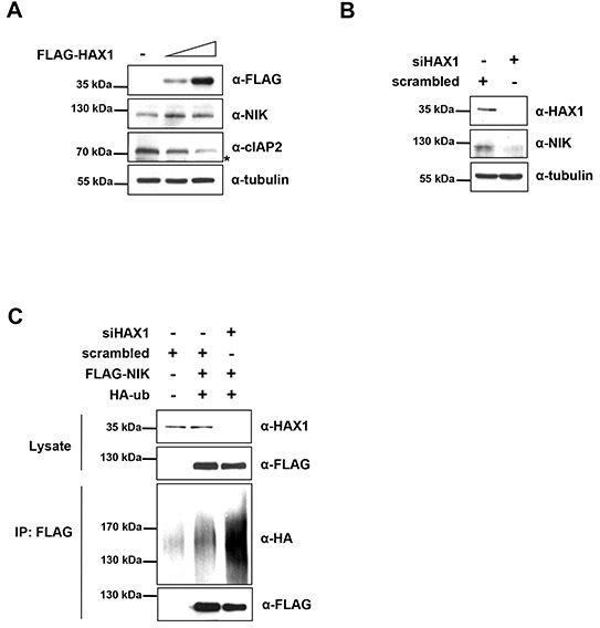 HAX1 regulates the degradation of NIK (A) MDA-MB-231 cells were transfected with increasing amounts of FLAG-HAX1 (0, 0.8, and 2 μg) for 24 h, and the cell lysates were then examined by immunoblotting using appropriate antibodies. Asterisk indicates nonspecific bands. (B) MDA-MB-231 cells were transfected with siHAX1 or scrambled control for 24 h and the cell lysates were analyzed by immunoblotting using anti-HAX1, anti-NIK, and anti-tubulin antibodies. (C) HEK 293T cells were co-transfected with siHAX1 or scrambled control and FLAG-NIK and HA-ubiquitin. After 24 h, the cell lysates were immunoprecipitated with anti-FLAG M2 antibody-conjugated agarose beads and the resulting complexes were analyzed by immunoblotting with anti-HA and anti-FLAG antibodies (bottom two panel). The expression level was determined using anti-HAX1 and anti-FLAG antibodies (top two panels).