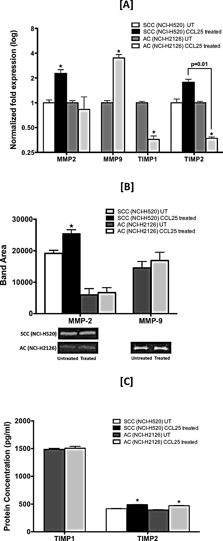 CCL25-induced expression of MMPs and TIMPs in LuCa cells Cells were tested for their capacity to express mRNA and protein for MMP-2 and -9 and TIMP-1 and -2. [A] SCC (NCI-H520) and AC (NCI-H2126) cells were treated for 30 min with 0 or 100 ng/mL of CCL25. Total RNA was isolated, and quantitative real time-PCR analysis was performed for mRNA expression of MMP-2 and -9 and TIMP-1 and -2. Transcript copies were presented relative to copies of 18S rRNA. [B] Active gelatinases (MMP-2 and -9) in culture supernatants were quantified by gelatin zymography. Cells were stimulated with CCL25 (0 or 100 ng/ml) for 24 h. Top: Graph represents densitometric analysis of zymography for control and treated samples, presented as band area, analyzed by ImageJ software. Bottom: Representative zymography. [C] TIMP-1 and TIMP-2 in culture supernatants were quantified by ELISA. Bars represent the concentration (pg/ml) of TIMP-1 and TIMP-2 in culture supernatants collected from cells treated with 0 or 100 ng/ml of CCL25 for 24 h. Asterisks show significant differences between untreated and CCL25-treated LuCa cells. Data was analyzed by non-parametric two tailed t-test and presented as mean +/− S.D., n=2. * p