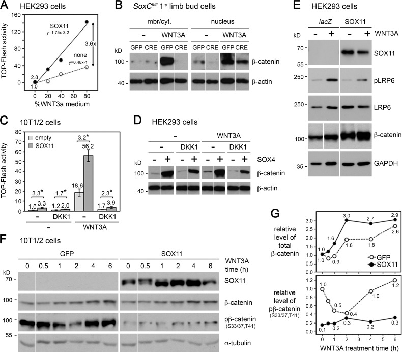 SOXC proteins amplify canonical WNT/signaling by inhibiting GSK3-dependent phosphorylation of β-catenin. (A) TOP-Flash reporter activity in HEK293 cells transfected with empty (none) or FLAG-SOX11 expression plasmid and treated with various dilutions of WNT3A medium for the last 6 h of culture. Each dot represents one sample. The equations of linear fits are indicated. (B) β-Catenin level in SoxC fl/fl primary limb bud cells infected with GFP or CRE adenovirus for 24 h. Cells were treated with 20% WNT3A medium for the last 8 h. Representative blots are shown. (C) TOP-Flash reporter activity in 10T1/2 cells transfected for 24 h with empty or 3FLAG-SOX11 expression plasmid. None (−) or DKK1 protein was added 1 h before transfection, and 20% WNT3A medium was added for the last 6 h. Normalized reporter activities are presented as means with standard deviation for triplicates in a typical experiment. Fold increases caused by SOX11 are indicated. *, P