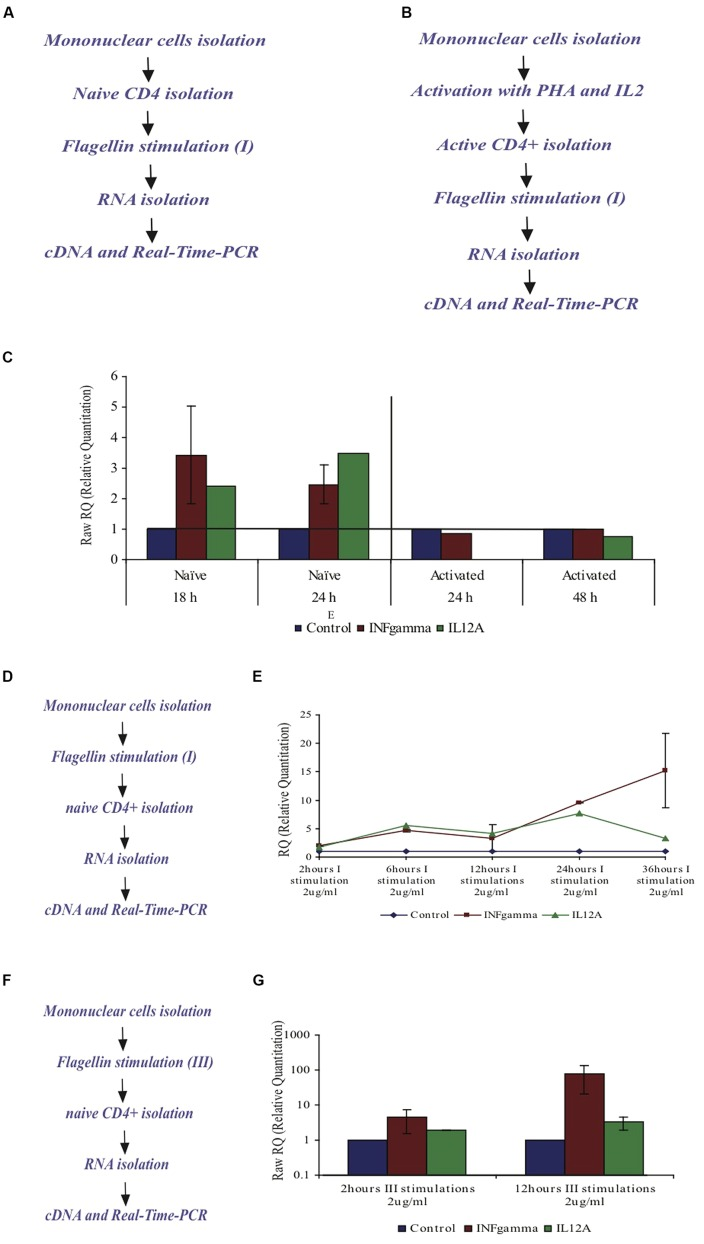 Effect of F protein on expression levels of IL12A and IFNγ in CD4+ T cells from healthy donors. (A–C) Effect of F protein on expression levels of IL12A and IFNγ in naïve and activated CD4+ T cells. (A) Experimental design for naïve cells – CD4+ T cells were isolated from peripheral blood of healthy donors using CD4+ magnetic-beads. CD4+ T cells were seeded and incubated with the F protein (2 μg/ml) for 18 or 24 h. (B) Experimental design for activated cells – mononuclear cells were activated by PHA (20 μg/ml) for 72 h and then grown with IL2 (10 units/ml recombinant IL-2). Following activation, CD4+ T cells were separated using CD4 magnetic beads. CD4+ T cells were seeded and incubated with the F protein (2 μg/ml) for 24 or 48 h. Following the incubation, cDNA samples were prepared and subjected to real-time-PCR analysis using SYBR green reagent (as described in Methods). (C) Changes in IFNγ-mRNA and IL12A-mRNA levels upon F stimuli, compared to control cells. I = one F stimulation. Data represents the mean ± SD of 3–5 separate experiments. (D,E) Effect of the F protein on expression levels of IL12A and IFNγ in naïve CD4+ T cells after triggering all mononuclear cells. (D) Experimental design – Naïve mononuclear cells were incubated with flagellin for different time periods, after which CD4+ T cells were separated using CD4 magnetic beads. The separated CD4+ T cells were taken and cDNA samples were prepared and subjected to real time-PCR analysis using SYBR green reagent (as described in Methods). (E) The changes of IFNγ-mRNA and IL12A-mRNA in CD4+ T cells levels upon flagellin stimuli in the presence of mononuclear cells after 2, 6, 12, 24, and 36 h. I = one F stimulation. Data represents the mean ± SD of 3–5 separate experiments. (F,G) Effect of the F protein on expression levels of IL12A and IFNγ in naïve CD4+ T cells after triggering the mononuclear cells three times. (F) Experimental design – Naïve mononuclear cells were triggered three times with flagellin for