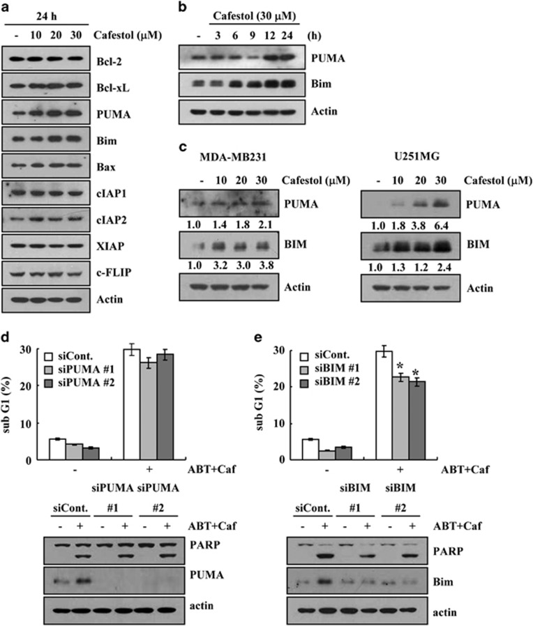 Upregulation of Bim expression is associated with cafestol plus ABT-737-induced apoptosis. ( a ) Caki cells were treated with the indicated concentrations of cafestol for 24 h. The protein expression levels of Bcl-2, Bcl-xL, PUMA, Bim, Bax, cIAP1, cIAP2, XIAP, and c-FLIP were determined by western blotting. Actin served as a control for protein loadings. ( b ) Caki cells were treated with 30 μ M cafestol for the indicated time periods. The protein expression levels of PUMA and Bim were determined by western blotting. Actin served as a control for protein loadings. ( c ) MDA-MB231 and U251MG cells were treated with the indicated concentrations of cafestol for 24 h. The protein expression levels of PUMA and Bim were determined by western blotting. Actin served as a control for protein loadings. ( d and e ) Mcl-1-overexpressed cells (Caki/Mcl-1) were transiently transfected with PUMA ( c ) and Bim ( d ) siRNA or control siRNA. Overnight after transfection, cells were treated with 30 μ M cafestol (Caf) and 0.1 μ M ABT-737 (ABT) for 24 h. The level of apoptosis was analyzed by measuring the sub-G1 fraction by flow cytometry ( d and e , upper panel). Equal amounts of cell lysates (60 μ g) were separated by gel electrophoresis and analyzed by western blotting for poly ADP-ribose polymerase (PARP), PUMA, and Bim. Actin served as a control for protein loadings. The values in panels ( d and e ) represent the mean±S.D. from three independent samples. * P