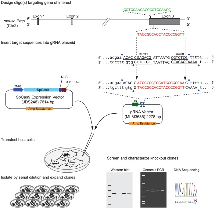 Strategy for generation of mouse PrP knockout clones based on CRISPR/Cas9-system.