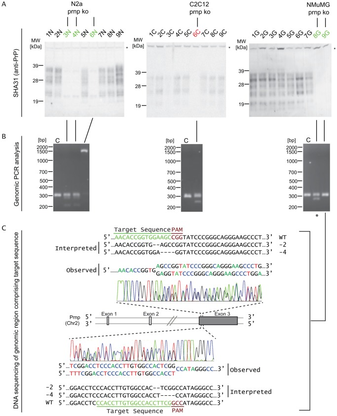 Generation of Prnp knockout clones in three different mouse cell lines. ( A ) Identification of clones that exhibit loss of PrP expression by Western blot analyses of cellular lysates. ( B ) Crude characterization of Prnp gene editing by genomic PCR analyses. Note the appearance of additional slower or faster migrating PCR products in clones that exhibit loss of PrP expression. C, control lane derived from genomic PCR analyses of cells not subjected to CRISPR/Cas9 gene editing. The asterisk identifies the NMuMG clone that was employed for the global proteome comparison described below. ( C ) Detailed insertion/deletion (indel) analysis of one Prnp -deficient NMuMG cell clone by DNA-sequencing of genomic PCR products. Consistent with the observed loss of detectable PrP by Western blot analysis, the analysis established the deletion of 2 and 4 nucleotides within the two Prnp alleles present in this NMuMG cell clone.