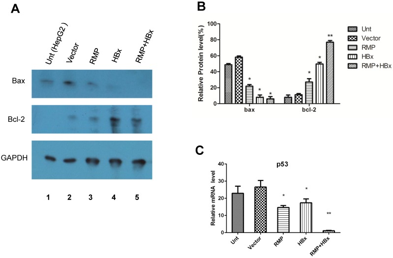 HBx and RMP collaborately regulate apoptotic genes. (A). HepG2 cells (lane 1) were transfected with empty vector (lane 2), expression vectors for RMP (lane 3), HBx (lane 4), or both RMP and HBx (lane 5). Protein was extracted and Western blot analysis was carried out with antibodies against Bax, Bcl-2 and GAPDH which was applied for the normalization. The relative expression of Bax and Bcl-2 against GAPDH were graphically depicted in (B). (C). HepG2 cells were transfected with vectors as indicated. The mRNA was extracted and quantative RT-PCR was carried out for the determination of expression of p53. The expression of GAPDH was also determined for the normalization of expression of above factors. Student's t test, *, p