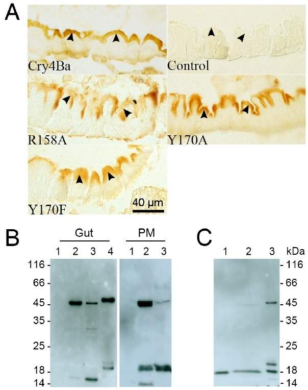 Cry4Ba binding to the larval midgut epithelium and toxin proteolytic processing in the larvae. (A) Larval tissue sections were covered by Cry4Ba wild type (Cry4Ba) and mutants (indicated). A bound toxin was detected with antibodies C4bPAbs, this was followed by secondary antibodies; biotin conjugated anti-mouse IgG /streptavidin-HRP (see Methods). The dark-brown color represents toxin binding at BBM (arrow heads) from 3-independent experiments. A control is a larval section which was reacted with antibodies, but without toxin reaction (control). (B) Western blot analysis of a toxin associated with PM or gut in the larvae treated with Cry4Ba wild type (lane 2) and R158A (lane 3) with Cry4Ba specific antibodies C4bPAbs. Antibodies show negative reactivity with proteins which were isolated from the PMs and guts of normal larvae (lane 1). (C) Reactivity of the antibodies C4bPAbs with Y170A protein associated with gut (lane 1) and PM (lane 2). The 47 kDa and 18-20 kDa of the trypsin activated Cry4Ba in vitro (B-lane 4, C-lane 3) were used as positive controls.