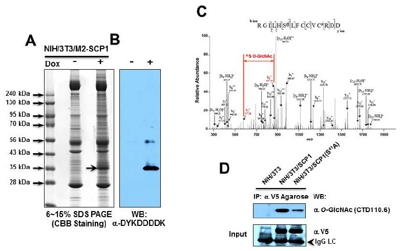 Determination of O -GlcNAcylation site on hSCP1. (A) The Flag-tagged hSCP1 (Wt) from NIH/3T3/M2-hSCP1 cells (20 mg of total cell lysate) was subjected to the immunoprecipitation with α-Flag-Agarose. The immunoprecipitates were subjected to 6-15% SDS-PAGE and stained with CBB. Arrow indicates hSCP1. (B) A small portion of immunoprecipitate was subjected to Western blot analysis with α-DYKDDDDK antibody. (C) The Q-TOF spectrum and the sequencing results of a GlcNAc-modified peptide corresponding to residues 36-50 are shown. S 41 residue in hSCP1 is an O -GlcNAcylation site. The expected increase in mass by the O -GlcNAc modification is 203.2 Da. (D) Whole cell lysates of NIH/3T3 transfected with V5-tagged hSCP1 (empty vector (pcDNA3), Wt and S 41 A) were immunoprecipitated with V5-epitope Agarose beads and characterized by Western blot analysis with α O -GlcNAc antibody. The protein input was monitored with α-V5 antibody after stripping the blot. Arrow head indicates IgG light chain.