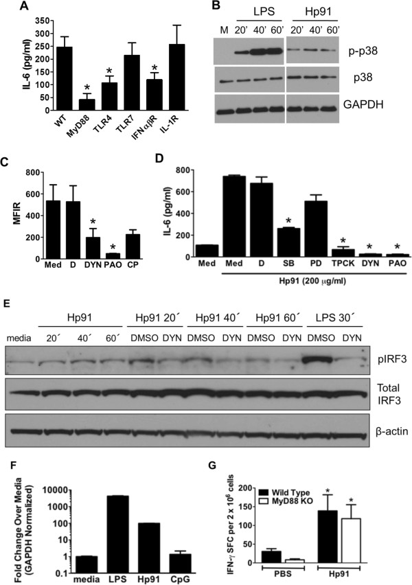 TLR4, MyD88, and MyD88-dependent and -independent pathways are necessary for Hp91-mediated activation of antigen presenting cells. (A) BM-DCs from wild type (WT) or knockout mice were exposed to 200 μg/ml Hp91. Supernatants were analyzed for IL-6 by ELISA. Results are mean (±SEM) for N = 3-5. (B) J774 macrophages were stimulated for indicated times with 200 μg/ml Hp91, 10 ng/ml LPS or left untreated (M). Lysates were analyzed for p-p38 by WB. Blots were probed with anti-p-p38, anti-p38, and anti-GAPDH antibodies. One of N=4. (C) J774 macrophages were pretreated with media (Med), DMSO control (D), Dynasore (DYN) 80 μM, phenylarsine oxide (PAO) 2 μM or chlorpromazine (CP) 100 μM before incubation with 200 μg/ml Cp488-labeled Hp91 for 30 min. Cells were analyzed by flow cytometry. Results are mean (±SEM), N=4. (D) J774 macrophages were pretreated with DMSO control (D), SB203580 (SB) 20 μM, PD98059 (PD) 20 μM, TPCK 20 μM, Dynasore (DYN) 80 μM, phenylarsine oxide (PAO) 2 μM, or chlorpromazine (CP) 100 μM then exposed to Hp91. Supernatants were analyzed for IL-6 by ELISA. Data are mean (±SEM), N=3. (E) RAW 264.7 macrophages were pretreated with medium, DMSO control, or Dynasore (DYN) 80 μM prior to stimulation for indicated times with Hp91 (200 μg/ml), LPS (10 ng/ml) or media. Cell lysates were analyzed for p-IRF3. Immunoblots were probed with anti-p-IRF3, anti-IRF3, and anti-β-actin antibodies. (F) cDNA from stimulated J774 cells were evaluated for IFN-α2 mRNA by qPCR. Values are normalized against endogenous GAPDH controls, in duplicate. (G) Wildtype or MyD88-/- knockout mice were immunized with SIINFEKL peptide in PBS with or without Hp91. Splenocytes from immunized mice were cultured with SIINFEKL peptide (2.5 μg/ml). The number of IFN-γ-secreting cells was determined 18 h later. Data are mean (±SEM), 5–10 mice/group. *p