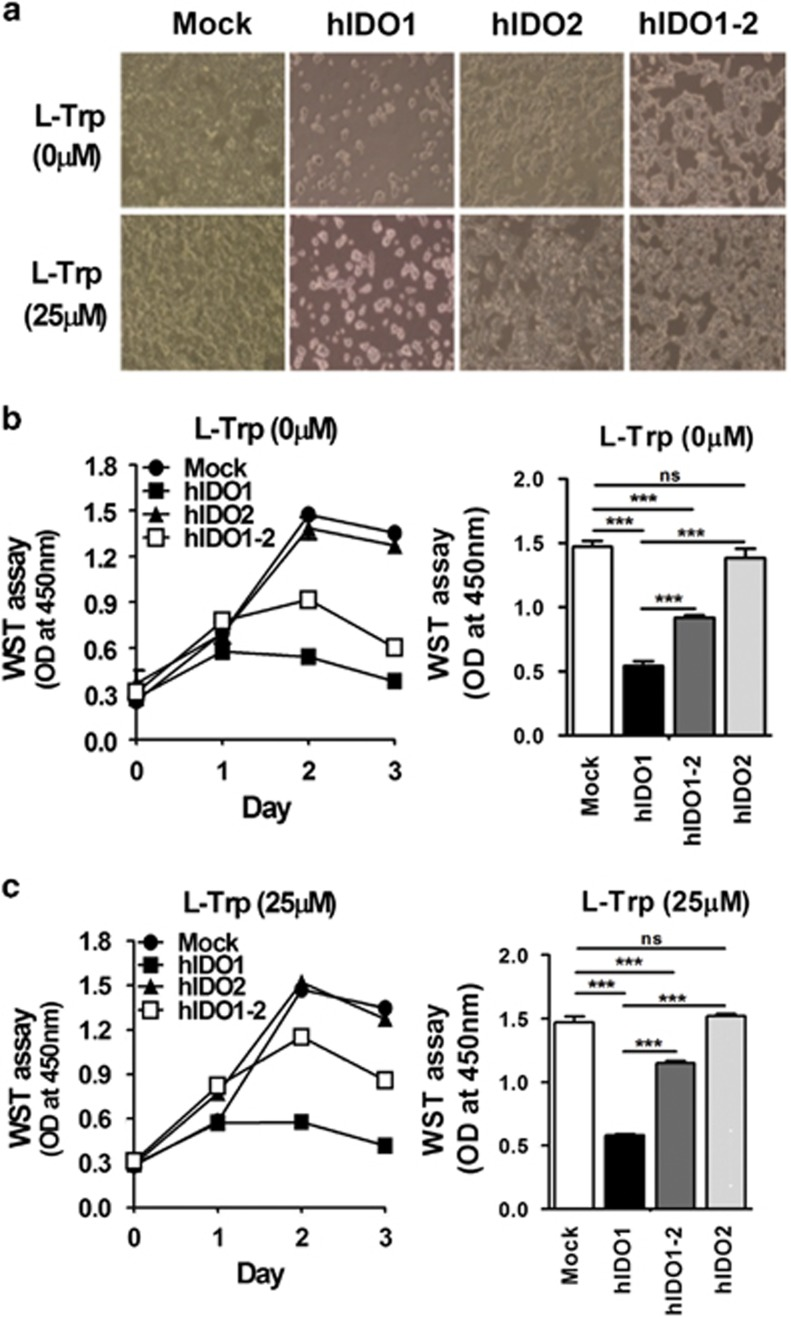 Alleviation of cell growth arrest and death by co-expression of hIDO2. ( a ) Morphological changes in hIDO1-, hIDO2- or hIDO1-2-expressing HEK293 stable cells in the absence or presence of 25 μ M L -Trp were detected on day 3 during the cell proliferation assay ( × 100 magnification). Cell proliferation was measured by WST colorimetric assay during the 3-day culture period in the ( b ) absence or ( c ) presence of 25 μ M L -Trp. Absorbance at 450 nm was measured using a microplate reader. Cell proliferation values on day 2 were subjected to statistical analysis. All experiments were performed independently three times. ns, not significant, *** P
