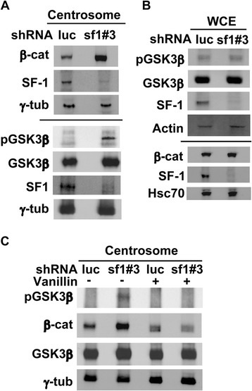 SF-1 depletion activates DNA-PK signaling and causes accumulation of β-catenin and GSK3β in the centrosome. (A, C) Centrosomal or (B) whole cell extracts (WCE) of shluc or shsf1#3 lentivirus infected Y1 cells in the presence or absence of DNA-PK inhibitor, vanillin, were analyzed by immunoblotting with antibodies against β-catenin (β-cat), phosphorylated GSK3β (pGSK3β), GSK3β, SF-1, γ-tubulin (γ-tub), phsophorylated Akt (pAkt), Actin and Hsc70.