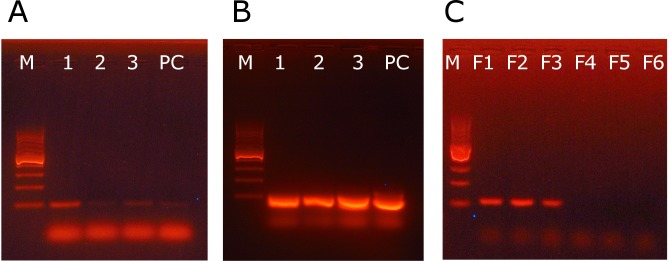 Agarose gel electrophoresis of the PCR amplification products of the GH1 and NR5A1 genes. A – expression of the GH1 gene in the 6 h zebra finch embryos. B – amplification of the reaction product in the nested PCR. Lanes: 1, 2, 3–6 h embryo samples, PC- positive control, reverse transcribed RNA from adult zebra finch pituitary gland. The negative control was RNA treated in the absence of reverse transcriptase. The negative control is not shown, but in all repeats it showed no products. C – expression of the steroidogenic factor 1 gene ( NR5A1 ) in female (Lanes: F1, F2 and F3) and lack of the product in male (Lanes: M1, M2 and M3) zebra finch embryos incubated for 36 h. On all photos M is a DNA marker (100–1000 b.p.).