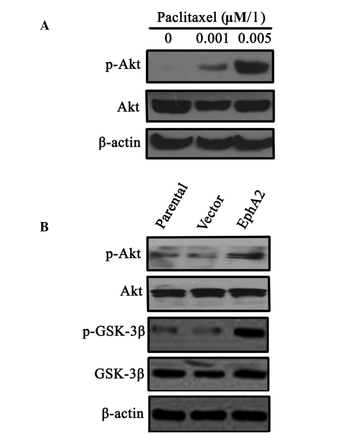 Effect of paclitaxel stimulation and EphA2 overexpression on activation of the PI3K/Akt signalling pathway in NPC 5-8F cells. (A) NPC 5-8F cells were treated with varying concentrations of paclitaxel and PI3K/Akt pathway signalling molecules (total Akt, p-Akt) were measured by western blot analysis. (B) EphA2 over-expression stimulates the PI3K/Akt pathway. The total quantity Akt, p-Akt, GSK-3β and p-GSK-3β was determined by western blot analysis. EphA2, ephrin type-A receptor 2; PI3K, phosphoinositide 3-kinase; p-Akt, phosphorylated Akt; GSK-3β, glycogen synthase kinase-3β; p-GSK-3β, phosphorylated-GSK-3β.