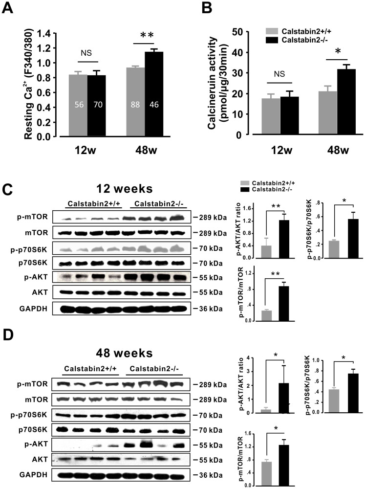 Depletion of Calstabin2 causes intracellular Ca 2+ leakage, activation of <t>calcineurin</t> and AKT-mTOR pathway. (A), Resting Ca 2+ determined by the ratio of F340/F380 fluorescence in WT and KO mice at different ages. At 48 weeks, resting [Ca 2+ ] i was 20% higher in KO cells than in WT controls. Numbers in the bars indicate the number of the analyzed cells isolated from five to six mice. (B), Calcineurin activity was 48% higher in aged KO mice than in the age-matched WT mice and 1.8-fold higher than in young KO mice. Immunoblots for proteins involved in AKT-mTOR signaling pathway in hearts from 12-week-old (C) and 48-week-old (D) mice. The graphs indicate the relative expression levels of p-AKT, p-p70S6K and p-mTOR. n = 5 per group. Quantitative data are shown as means ± SEM. *P