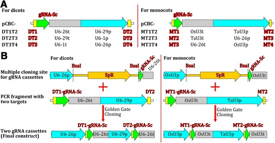 Premade gRNA modules used for the assembly of two to four gRNA expression cassettes. (A) gRNA-expressing modules for both dicots and monocots. U6-29p, U6-26p, and U6-1p are three Arabidopsis U6 gene promoters; U6-29t, U6-26t, and U6-1t, corresponding Arabidopsis U6 gene terminators with downstream sequences; OsU3p and TaU3p, rice and wheat U3 promoters, respectively; OsU3t and TaU3t, rice and wheat U3 terminators with downstream sequences, respectively; gRNA-Sc, gRNA scaffold; DT1/2/3/4, dicot target-1/2/3/4; MT1/2/3/4, monocot target-1/2/3/4. The vector pCBC is the cloning vector into which the gRNA modules were inserted separately. (B) Examples of the assembly of two-gRNA expression cassettes for dicots and monocots using the gRNA modules. Note: Each PCR fragment is flanked by two Bsa I sites (not shown).