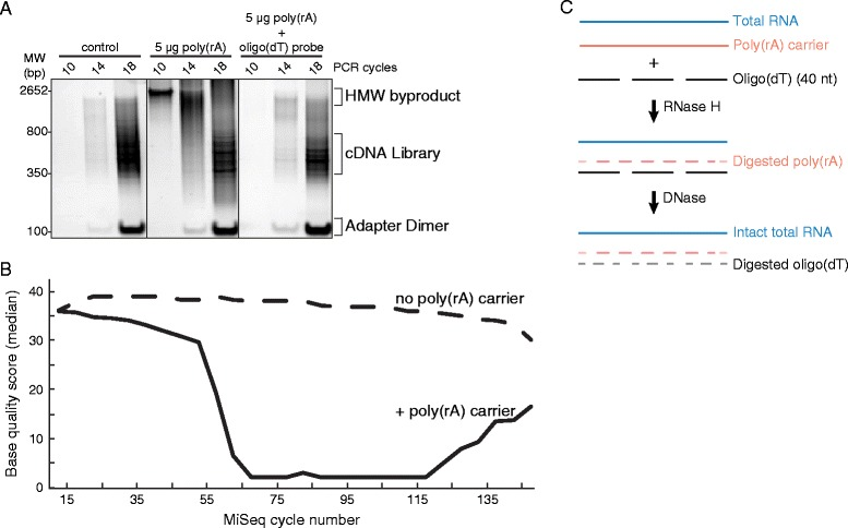 RNase H selective depletion of poly(rA) carrier from Lassa samples. (A) Native polyacrylamide gel depicting library PCR and side products of LASV preparations with poly(rA) carrier present (middle) or depleted (right panel). No free poly(rA) was present in control library (left). (B) Median base qualities per MiSeq cycle of poly(rA)-contaminated LASV libraries (solid line) and control (no carrier observed in library, dashed) from FastQC report. Both read 1 and read 2 of paired end reads are merged in the library BAM file and the quality scores are shown at each base. (C) Schematic of carrier RNA selective depletion and DNase treatment of oligo (dT).