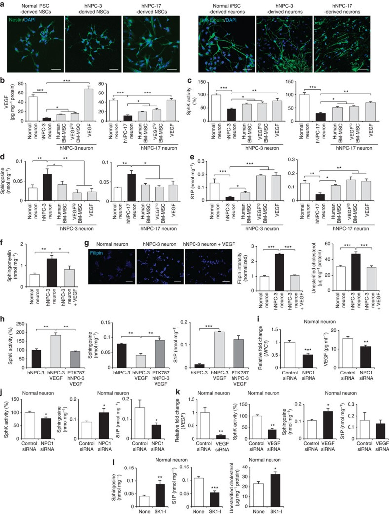 VEGF ameliorates sphingolipid imbalance in NP–C iPSC neurons. ( a ) Left, normal, hNPC-3 and hNPC-17 iPSCs generated nestin-positive neuroprogenitor cells (scale bar, 50 μm). Right, representative images of immunocytochemical staining the β-III tubulin following neural differentiation (scale bar, 50 μm). ( b ) hNPC-3 and hNPC-17 neurons were treated with human BM-MSCs, VEGF tg BM-MSCs or recombinant VEGF (10 ng ml −1 ). Three days after treatment, VEGF levels were measured in cell lysates. ( c – f ) SphK activity ( c ), sphingosine ( d ), S1P ( e ) and sphingomyelin ( f ) were measured in normal iPSC neurons and hNPC neurons with or without treatment. ( g ) Filipin staining of unesterified cholesterol in hNPC-3 neurons with or without treatment of recombinant VEGF for 3 days (scale bar, 50 μm). Quantification of filipin fluorescence intensities normalized to normal neurons. Unesterified cholesterol levels in normal iPSC neurons and hNPC neurons with or without treatment were measured ( n =6 per group). ( h ) Effect of the VEGFR2 inhibitor on VEGF mediated sphingolipid modulation. hNPC-3 neurons were pretreated with PTK787 at 10 μM for 1 day and were treated for 3 days with 10 ng ml −1 VEGF and then assayed for SphK activity, sphingosine and S1P ( n =7 per group). ( i , j ) Effect of NPC1 knockdown on sphingolipid factors in normal iPSC neurons. ( i ) Three days after NPC1 siRNA transfection, we measured the levels of NP C1 mRNA and VEGF expression. ( j ) SphK activity, sphingosine and S1P were measured in normal iPSC neurons treated with control or NPC1 siRNA (control, n =7; NPC1 siRNA, n =9). ( k ) Effect of VEGF knockdown on sphingolipid factors in normal iPSC neurons. Three days after VEGF siRNA transfection, we measured the levels of VEGF mRNA, SphK activity, sphingosine and S1P in normal iPSC neurons ( n =7 per group). ( l ) Effect of a specific SphK1 inhibitor on sphingolipid factors in normal iPSC neurons. Normal neurons were treated with or without 20 μM SK1-I for 6 h. Lipids were extracted and sphingosine, S1P and unesterified cholesterol levels were determined ( n =6 per group). b – h , one-way analysis of variance, Tukey's post hoc test. i – l , Student's t -test. * P