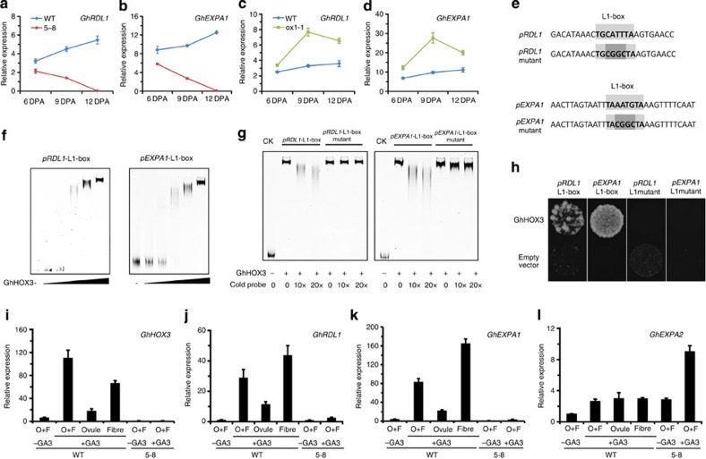 GhRDL1 and GhEXPA1 are direct targets of GhHOX3. ( a – d ) Quantitative reverse transcription-PCR analysis of GhRDL1 and GhEXPA1 transcripts in cotton fibre of the WT, co-suppression (5–8) and overexpression (ox1-1) plants. ( e – h ) GhHOX3 directly binds to GhRDL1 and GhEXPA1 promoters. Data are shown as mean±s.e.m. ( n =3). ( e – g ) EMSA of GhHOX3 binding to L1-box from the GhRDL1 and GhEXPA1 promoters. The 6 × fragments of GhRDL1 and GhEXPA1 promoters containing the intact (upper) or the mutated (lower) L1-box ( e ) were incubated with gradient concentrations of maltose-binding protein (MBP)-GhHOX3 fusion protein ( f ). Labelled GhRDL1 and GhEXPA1 were incubated with MBP-GhHOX3 to compete with different concentrations of cold probes of intact or mutated L1-box ( g ). ( h ) Yeast one-hybrid assay of protein–DNA interaction, the 6 × fragments described in e were used. ( i – l ) Expression levels of GhHOX3 and two downstream genes in ovule (O) and/or fibre (F), which were taken from GhHOX3 -silenced line 5–8 and the WT cotton at 2 DPA and cultured in vitro with addition of the hormone GA 3 (1 μM) for 6 days. GhEXPA2 , expressed at a nearly equal level in ovule and fibre, was analysed as a control of GA treatments. Data are shown as mean±s.e.m. ( n =3).