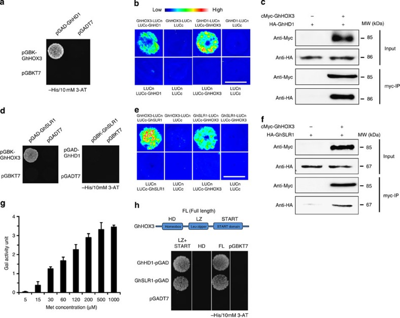 The DELLA protein GhSLR1 binds to GhHOX3 and interferes with the GhHOX3–GhHD1 interaction. ( a ) Yeast two-hybrid assay. pGAD-GhHD1 combined with pGBK-GhHOX3 conferred yeast growth on SD/-Leu/-Trp/-His plates supplemented with 10 mM 3-amino-1,2,4-triazole (3-AT). ( b ) BiFc assay. GhHOX3 and GhHD1 were interchangeably fused to the carboxyl- and amino-terminal of firefly luciferase (LUC, LUCc and LUCn), transiently co-expressed, and LUCc or LUCn was co-expressed with each other or with each un-fused target protein as the control. Fluorescence signal intensities represent their binding activities. Top bar, heat map's scale of the signal intensity. GhHOX3 interacted with GhHD1. Scale bar, 1 cm in b. ( c ) Coimmunoprecipition (CoIP) of transiently co-expressed cMyc-GhHOX3 and HA-GhHD1 in leaves of Nicotiana benthamiana . Soluble protein extracts before (input) and after (IP) immunoprecipitation with anti-cMyc antibody-conjugated beads were detected by immunoblot with anti-HA antibody. ( d ) Yeast two-hybrid assay. GhHOX3, but not GhHD1, bound to GhSLR1 at 10 mM 3-AT. ( e , f ) In vivo BiFc ( e ) and CoIP ( f ) assays. GhHOX3 interacted with GhSLR1. Scale bar, 1 cm in e . ( g ) Yeast three-hybrid assay showing the influence of GhSLR1 on GhHOX3–GhHD1 binding represented by β-galactosidase activity, and the GhSLR1 expression was suppressed by increasing Met concentrations (data are shown as mean±s.e.m., n =3). ( h ) Domain deletion assay. Top, GhHOX3 contains three conserved domains. Below, yeast two-hybrid detection. GhHOX3 fragment containing both the Leu-zipper (LZ) and the START domains interacted with both GhHD1 and GhSLR1 in yeast, whereas the GhHOX3 homeodomain (HD) did not.