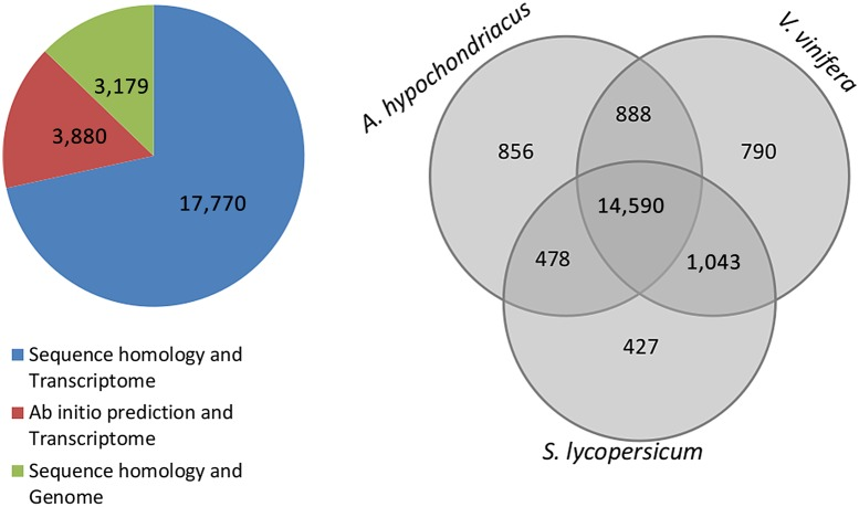 Comparative proteome analysis of A. hypochondriacus , V. vinifera and S. lycopersicum . The pie chart shows the source of evidence for proteins from the assembled transcriptome and genome. 17,770 proteins find evidence in both homology and presence in the transcriptome, 3,880 are ab initio predicted with presence in the transcriptome, and 3,179 are those with only evidence from homology to known plant proteins. The Venn diagram compares the total numbers of A. thaliana genes that are orthologous to the respective genomic scaffolds of A. hypochondriacus , V. vinifera and S. lycopersicum with 14,590 proteins common to all the three species representing three major clades under dicots. This figure appears in colour in the online version of DNA Research .