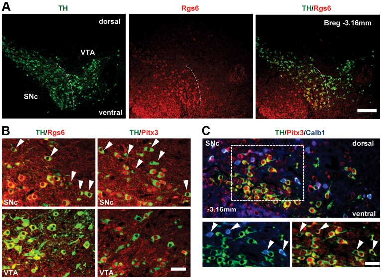 Restricted expression of Rgs6 in Pitx3-positive (Pitx3+) dopaminergic neurons of ventral SNc. (A) Rgs6 expression revealed by immunohistofluorescence (red) together with TH (green) in mDA neurons of SNc but not VTA. Scale bar 410 µm. (B) Co-immunofluorescence analysis of TH (green) and Rgs6 or Pitx3 (red, as indicated) in SNc and VTA of adult mice. Arrowheads point to Pitx3-negative or Rgs6-negative mDA neurons in dorsal SNc. Scale bar 100 µm. (C) Triple immunofluorescence staining for TH (green), Pitx3 (red) and Calb1 (blue) on tissue sections of adult mice indicates that the majority of TH+Pitx3− cells of dSNc (arrowheads) are positive for Calb1, while TH+Pitx3+ cells of vSNc are negative for Calb1, consistent with depiction in A. Scale bar 100 µm.