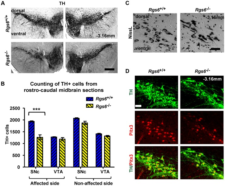 Unilateral loss of Pitx3-positive dopaminergic neurons in ventral SNc of Rgs6 −/− mice. (A) Immunoperoxidase staining for TH on representative coronal midbrain sections showing less SNc TH+ neurons on one side of Rgs6 −/− mice at 1 year of age compared to sib control. Sections are identified with Bregma position. Scale bar 400 µm. (B) Number of TH+ cells in SNc and VTA of TH-stained coronal sections across midbrain (every 30 µm). Cell counts are represented as means +/− S.D. (***p