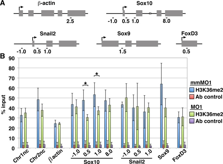NSD3 dimethylates H3K36 at the Sox10 locus. (A) Primer locations in β-actin, Sox10, Snail2, Sox9 , and FoxD3 genes used for quantitative PCR after chromatin immunoprecipitation, named by their distance in kilobases from the transcription start site (arrow). (B) Average percentage input (mean ± SD) recovered in three independent chromatin immunoprecipitation experiments performed with 30 pooled NSD3 mmMO1- or MO1-electroporated neural tubes, assaying H3K36me2 occupancy at 12 genomic loci ( Chr1nc [chromosome 1 negative control], Chr2nc [chromosome 2 negative control], β-actin , four regions within Sox10 , three regions within Snail2 , Sox9 , and FoxD3 ). Input recovered is in the normal range for a methylated histone (Cell Signaling Technology, www.cellsignal.com/support/faq_chip.html#a11 ) and consistent with levels of H3K36me2 occupancy in other systems (e.g., Blackledge et al ., 2010 ; Asangani et al ., 2013 ; fold enrichment in Figure 5 ranges from 5 to 300). Normal rabbit IgG was an immunoprecipitation control (Ab control). Student's t test was used for statistical analysis; *significant; p