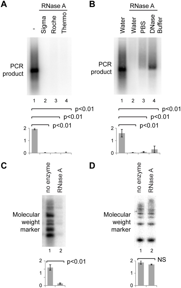 RNase A activity on DNA. A, B: 0.5 ng major satellite PCR product was mixed with 1 µg NIH/3T3 total RNA and analysed as in Fig. 1. A: Treatment with RNase A from different manufacturers. B: Treatment with RNase A in different buffers. C: 50 ng DNA molecular weight marker was mixed with 1 µg NIH/3T3 total RNA and treated without or with RNase A, purified as in Fig. 1 and separated on a non-denaturing 1xTBE gel before blotting and probing for the molecular weight marker. D: 32 P-labelled 50 bp ladder mixed with 1 µg RNA was treated without or with RNase A for 30 min at 37°, directly separated on an 8% PAGE gel and exposed to a phosphorimaging screen. For quantification, error bars represent ±1 s.d., y-axes in arbitrary units, p values were calculated by one-way ANOVA (A, B) or Student's t -test (C, D), n = 3 in all cases.