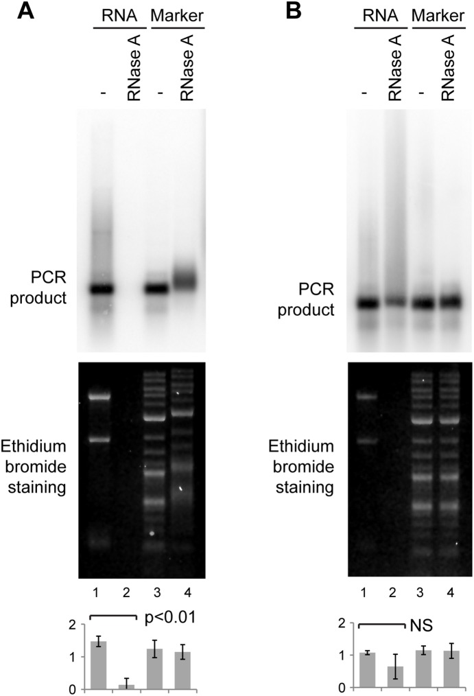 Inhibition of DNA removal by RNase A. A: 0.5 ng major satellite PCR product was mixed with 1 µg NIH/3T3 RNA (lanes 1, 2) or with 1 µg DNA molecular weight marker (lanes 3, 4), and treated without or with RNase A followed by phenol:chloroform extraction and analysis as in Fig. 1. B: Identical to A, except that samples were incubated with 20 µg proteinase K for 15 min at 37° after RNase A treatment and phenol:chloroform extraction was omitted. For quantification, error bars represent ±1 s.d., y-axes in arbitrary units, analysis by one-way ANOVA (n = 3), differences in B are not significant.