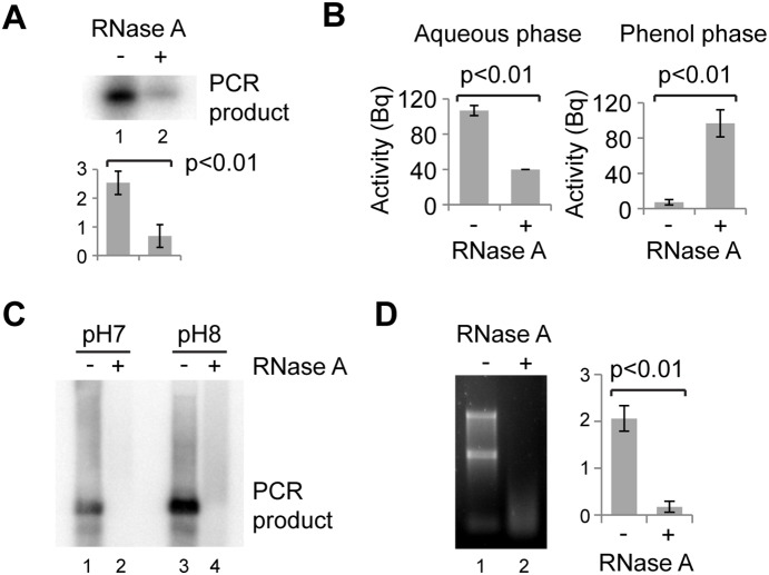 Re-partitioning of RNase-treated DNA. A, B: 5 ng 32 P-labelled major satellite PCR product mixed with 1 µg of NIH/3T3 RNA was incubated without or with RNase A for 30 min at 37°. Reactions were then diluted to 100 µl with water and extracted with 100 µl phenol:chloroform. A: 10 µl of the aqueous phase was analysed by electrophoresis in a non-denaturing 1xTBE gel which was dried and exposed to a phosphorimaging screen. B: Radioactivity present in the aqueous and phenol phases quantitated using a Geiger counter. C: DNA loss after RNase A treatment with phenol:chloroform extraction at pH 7 or pH 8. D: Activity of RNase A in phenol:chloroform. 1 µl 1 mg/ml RNase A was added to 100 µl phenol:chloroform and vortexed. 1 µl 1 mg/ml NIH/3T3 RNA was added, vortexed and reactions incubated at 37° for 30 min, followed by extraction with 100 µl water, precipitation and gel electrophoresis. For quantification, error bars represent ±1 s.d, y-axes in arbitrary units for A, D or Bequerels in B, analysis by Student's t -test, n = 3.