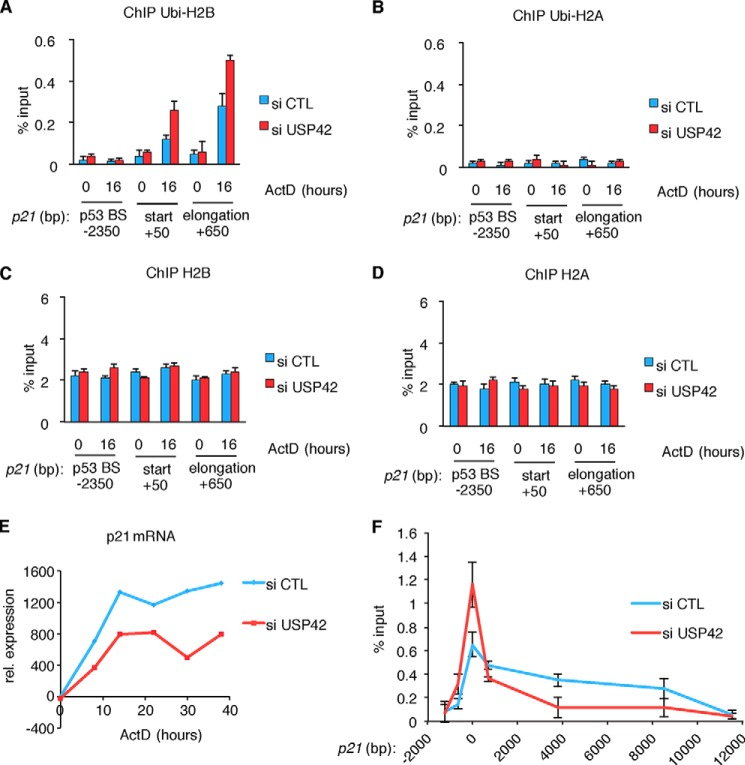 USP42 knockdown increases endogenous H2B ubiquitylation specifically on the start and early extension sites of the p21 promoter upon its induction. A–D , chromatin immunoprecipitations showing the ubiquitylation status of H2B and H2A on the p21 gene following USP42 knockdown. H2B ubiquitylation ( ubi-H2B ) increases upon p21 induction at the initiator and the first intron. This is further increased by knockdown of USP42 ( A ), whereas H2A ubiquitylation ( ubi-H2A ) is not influenced by p21 induction or USP42 knockdown ( B ). The difference in ubiquitylation is not an indirect result of general histone deposition because H2B and H2A levels are not altered ( C and D ). Error bars represent the S.D. of three independent replicas. E , expression analysis of p21 mRNA by quantitative RT-PCR. Knockdown of USP42 decreases p21 mRNA up to 38 h. F , chromatin immunoprecipitation showing the recruitment of RNA Pol II to the p21 gene upon p53 induction. USP42 knockdown ( red ) increases RNA Pol II levels closer to the start site of transcription, whereas a reduced amount of RNA Pol II is observed in the distal part of the gene relative to control ( blue ). Error bars represent the S.D. of three independent replicas. ActD , actinomycin D; CTL , control; rel. , relative; p53BS , p53 binding site.