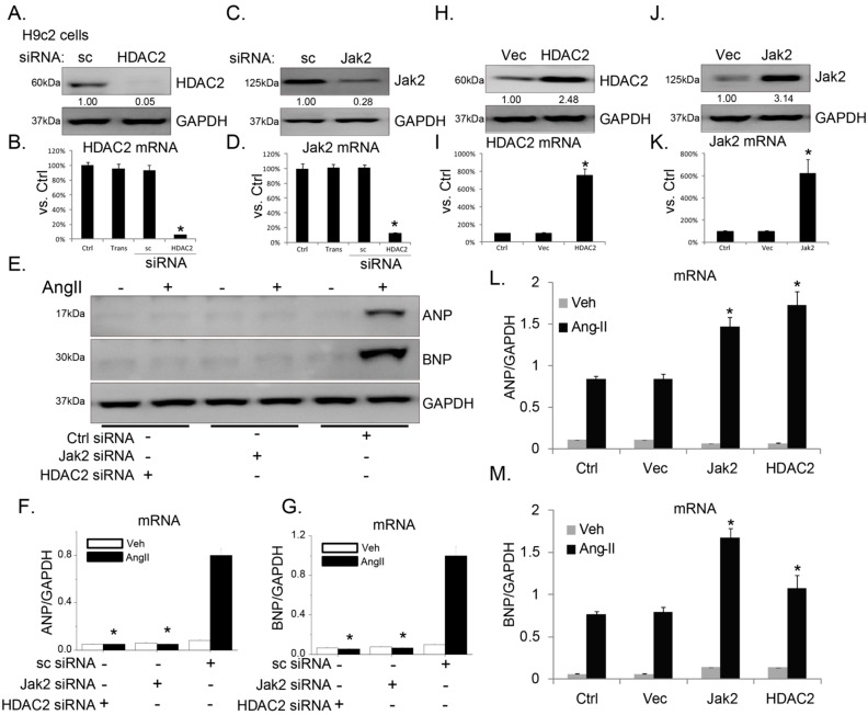 "Janus kinase 2 (Jak2) and histone deacetylase 2 (HDAC2) are important for angiotensin II (Ang-II)-induced atrial natriuretic peptide ( ANP )/brain natriuretic peptide ( BNP ) expression in H9c2 cardiomyocytes. Protein and mRNA expression of HDAC2 ( A , B ) or Jak2 ( C , D ) in H9c2 cells transfected with scramble siRNA (sc-siRNA) or indicated siRNA (100 nM each, 48 h); Protein ( E ) and mRNA ( F , G ) expression of ANP , BNP and glyceraldehyde-3-phosphate dehydrogenase ( GAPDH ) before and after Ang-II (1 μM, 24 h) treatment in H9c2 cells transfected with indicated siRNA; Protein ( H ) and mRNA expression of HDAC2 ( H , I ) and Jak2 ( J , K ) in stable H9c2 cells transfected with vector (""Vec"") or indicated cDNA plasmid (0.5 μg/mL each); Message RNA (mRNA) expression of ANP ( L ) and BNP ( M ) before and after Ang-II (1 μM, 24 h) treatment in stable H9c2 cells transfected with Jak2/HDAC2 plasmid or empty vector (""Vec"", 0.5 μg/mL each). For all the mRNA assays, n = 6. Experiments in this figure were repeated three times with similar results obtained. All data were expressed as means ± SEM, GAPDH was tested as an internal control. * p"