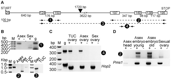 "Spo11 is spliced less in asexual aphids than in sexual aphids. A. Pea aphid Spo11 gene structure is shown. Boxes refer to exons and lines refer to introns, with bp lengths indicated inside or below, respectively. The third intron includes a 1720 bp SINE2 retrotransposon, indicated by the arrowhead. PCR primer sets used in reactions shown in Panels B , C and D are indicated by a numbered dashed line and pair of arrows. The scale bar indicates 100 bp. B. Unspliced Spo11 is detected in asexual aphids. Shown are PCRs from: genomic DNA (g); cDNA pools synthesized from RNA from sexual (""Sex"") LSR1.G1.AC ovaries, asexual (""Asex"") LSR1.G1.AC ovaries (+) and Tucson (""TUC"") pea aphid ovaries; and the RT-absent control template (-). Upper panel shows PCRs products from the second and third exons of Spo11 . The bottom panel shows PCR products of the last four ( left) or last six ( right ) exons of Spo11 . DNA size standards are indicated on the marker (M) lanes of these gels. C. Spo11 intron RNA is more abundant in asexually reproducing aphids than in sexual aphids. Shown are PCRs from: genomic DNA (g); cDNA pools synthesized from RNA from Tucson ovaries, asexual or sexual LSR1.G1.AC ovaries (+); or the RT-absent control template (-). Upper panel shows PCRs products from the fourth intron of Spo11 . The bottom panel shows PCR products of full-length Hop2 using the same template amounts. D. Spo11 is expressed in asexual embryos in utero . Top panel shows Spo11 PCR products using primer set 2, and the bottom panel shows Pms1 PCR product. Pools of cDNA (+) or control template from cDNA synthesis reactions lacking RT (-) were created from the tissue sources listed above the lanes."
