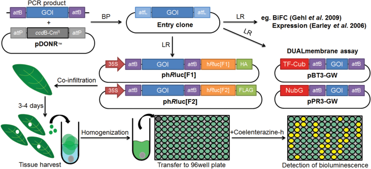 Schematic protocol for  R luc-PCA. Genes of interest (GOIs) are PCR amplified and recombined into pDONR TM /Zeo vector by BP cloning (BP). The GOI-containing entry clone can be recombined by LR cloning (LR) to insert GOI into desired destination vectors, which here is the Gateway-compatible ph R luc[F1] and ph R luc[F2] belonging to  R luc-PCA. Alternatively, GOI can be recombined into other destination vectors, e.g. Gateway-compatible DUALmembrane vectors containing the amino terminal ubiquitin fragment (NubG) and the carboxy terminal ubiquitin fragment fused to an artificial transcription factor (TF–Cub). In  R luc-PCA, ph R luc[F1]- and ph R luc[F2]-fused GOIs are individually introduced into different  Agrobacterium  and then co-infiltrated into the leaves of  N. benthamiana  in desired combinations to test PPIs. The assay is performed 3–4 d post infiltration by harvesting three leaf discs and transferring to tubes containing 200 µl assay buffer and a chrome ball. Leaf discs are macerated and 100 µl is transferred into a black 96-well plate. Bioluminescence upon addition of coelenterazine-h is monitored in a plate luminometer. (This figure is available in colour at  JXB  online.)