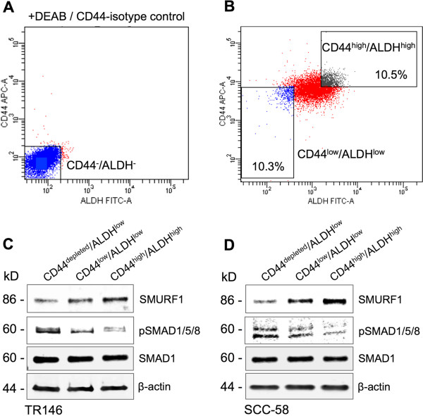 BMP signaling and SMURF1 are differentially regulated in CD44 high /ALDH high sorted CSC-like populations. Representative FACS analyses of sorted cells are shown in A and B. (A) ALDEFLUOR stained cells in the presence of ALDH activity inhibitor DEAB and double-stained with APC-conjugated IgG isotype control. (B) Gating of CD44 low /ALDH low and CD44 high /ALDH high populations. (C–D) Immunoblotting of SMURF1, pSMAD1/5/8, and SMAD1 (as a control for total SMAD protein) in the sorted TR146 (C) and SCC-58 (D) cells shown as representatives of at least three repeats from two independent cell sorting experiments. CD44 + cells in the CD44 low /ALDH low sorted population were magnetically captured and removed to generate CD44 depleted /ALDH low cells. β-actin was used as a total protein loading control for all samples.