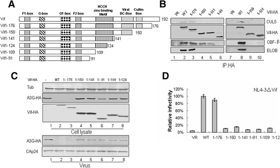 Effects of C-terminal truncations on HIV-1 Vif function. (A) Construction of C-terminal truncated Vif mutants with an N-terminal HA tag. (B) Interactions of various truncated Vif mutants with cellular factors. HEK293T cells were transfected with VR1012 as a control vector or WT or truncated Vif mutants as indicated. Cells were harvested 48 h later and subjected to immunoprecipitation analysis using the anti-HA antibody conjugated to agarose beads. Co-precipitated proteins were analyzed by Western blotting against Vif-HA, CUL5, CBF-β and ELOB. (C) Effects of WT and truncated Vif proteins on A3G degradation and virion packaging. HEK293T cells were co-transfected with NL4-3ΔVif and A3G along with VR1012 as a control vector or WT or various truncated Vifs as indicated. A3G expression was assessed by Western blotting against A3G-HA, Vif-HA and tubulin as loading control. A3G packaging was evaluated by Western blotting against A3G-HA and CAp24 after virus was purified from the supernatant of cell cultures. (D) Effects of WT and truncated Vif proteins on antiviral activity of A3G. HIV-1 viruses were produced as described for panel C. Virus infectivity was assessed using MAGI indicator cells, with the virus infectivity in the presence of WT Vif set to 100%. Error bars represent the standard deviation from triplicate wells.