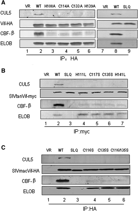 The HCCH motif in primate lentiviral Vif proteins is involved in CBF-β/CUL5 interactions. HCCH or SLQ-AAA mutants in HIV-1 Vif (A) , SIVtan Vif (B) or SIVmac Vif (C) were transfected into HEK293T cells as indicated. Cells were harvested 48 h later and subjected to immunoprecipitation analysis using the anti-HA antibody conjugated to agarose beads. Co-precipitated proteins were analyzed by Western blotting against Vif-HA, CUL5, CBF-β and ELOB.