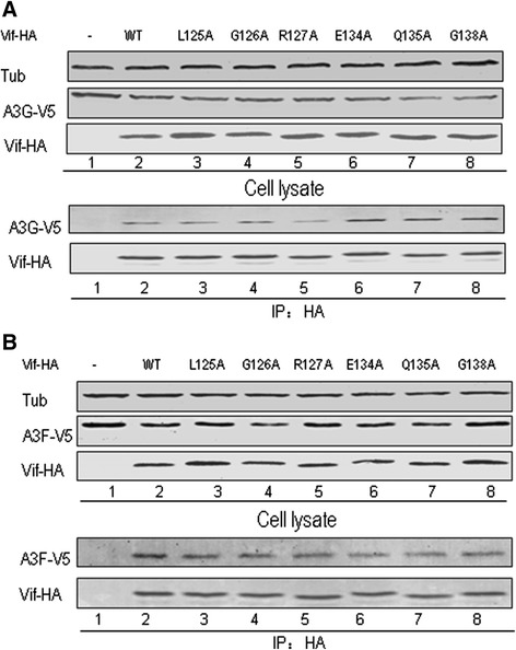 Unaltered interactions of Vif mutants with A3G or A3F imply no changes in conformation from WT Vif protein HEK293T cells were transfected with the vector control or WT or Vif mutant plus A3G-V5 (A) or A3F-V5 (B). Cells were treated with 10 μM MG132 12 h prior to harvesting, and then Vif-HA was immunoprecipitated from cell lysates with the anti-HA antibody conjugated to agarose beads. The interaction of Vif-HA with A3G-V5 or A3F-V5 was detected by Western blotting against Vif-HA and A3G-V5 or A3F-V5.